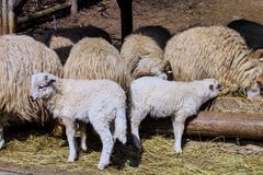 First born spring lambs Royalty Free Stock Images
