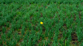 First Bright single daffodil, Narcissus flower among lots of green grass. oncept of dissimilarity and bright personality. First Bright single daffodil, Narcissus Royalty Free Stock Photography