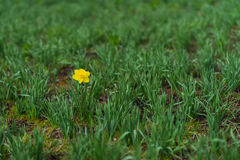 First Bright single daffodil, Narcissus flower among lots of green leaves. oncept of dissimilarity, bright personality. First Bright single daffodil, Narcissus royalty free stock photo