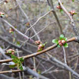 The first buds. Arise on twigs Royalty Free Stock Photos