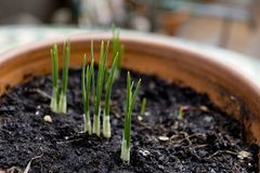 Saffron. First buds after having planted the saffron bulbs. A producer in the `Quercy` region in France stock photo