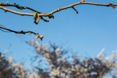 First buds of spring. In Washington DC, 2014 Stock Image