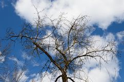First buds on a tree in early spring on a background of blue sky with clouds. Awakening of nature in spring stock photography