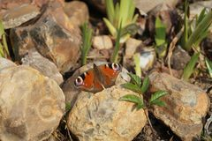 First butterfly in the season royalty free stock image