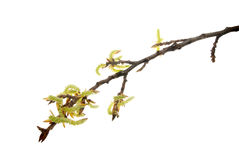 First-catkins-dismissing-from-buds-of-poplar-twig-isolated-on-white. First catkins dismissing from buds of poplar twig, isolated on white Royalty Free Stock Images