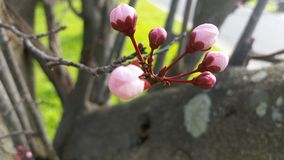Spring has sprung. First Cherry blossom Royalty Free Stock Image