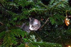 First Christmas for a kitten. Nosy little cat in a Christmastree Royalty Free Stock Photography