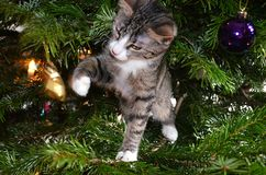 First Christmas for a kitten. Nosy little cat in a Christmastree playing with Christmas decoration Royalty Free Stock Image
