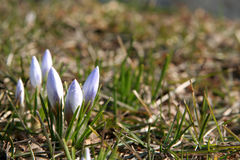 First crocus. Crocus in the grass Royalty Free Stock Photography