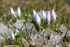 First crocus. Crocus in the grass Royalty Free Stock Photos