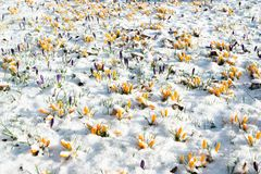 Crocus flowers in snow Royalty Free Stock Image