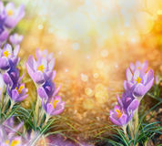 First crocus flowers over blurred sunlight nature background Stock Photos