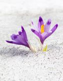 First crocuses Royalty Free Stock Images