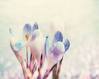 First crocuses with bokeh, spring blooming nature background Stock Photos