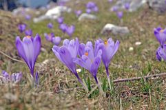 Purple Crocuses at early spring Stock Photography