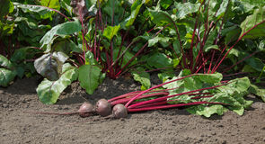 First crop of beetroots Royalty Free Stock Photo