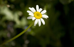 First Daisy Stock Image