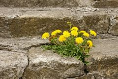 First dandelion on concrete staircase