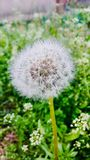 The first dandelion in early spring stock images