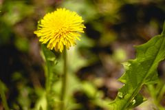 The first dandelion. Yellow flower. stock photo