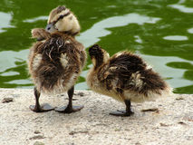 First Date. Two ducklings on a walk Royalty Free Stock Photo
