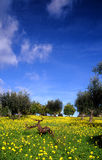 First day. Orange grove with flowered medow against blue sky Royalty Free Stock Image