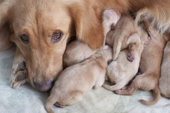 First day of golden retriever puppies and mom Stock Photos