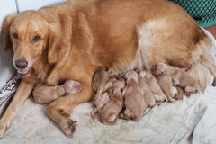 First day of golden retriever puppies with new dog mom lying on Stock Photography