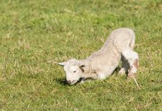 First Day Lamb. New Spring lamb learning to stand up on his first day stock photos