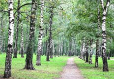 First days of autumn in birch forest Stock Photo