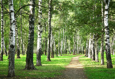 First days of autumn in the morning sunny birch forest Stock Photo