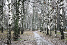 First days of spring the rainy evening in birch grove Stock Photography
