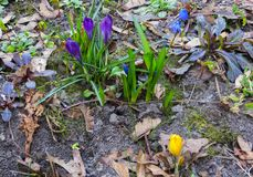 The first, delicate purple crocus flowers in early spring.  royalty free stock images