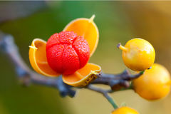First dew covered bittersweet berry opens wide. First oriental bittersweet of the autumn season explodes open. colorful yellow and red berries coved in dew on a royalty free stock photography
