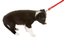 First dog walk on a leash Stock Photography