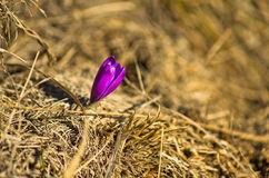 First early spring flowers at mount Stolovi Royalty Free Stock Photos