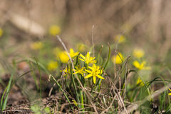 First early spring yellow flowers Stock Photography