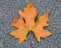 First fall leaf Stock Photo