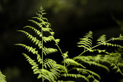 First ferns Stock Images