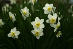 First field spring flowers narcissus royalty free stock photos