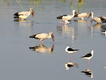Migratory birds came to Bhopal. First flock of migratory birds Open bill stork seen in Kaliasot reservoir in Bhopal, India. Many beautiful birds from distinct Royalty Free Stock Photo