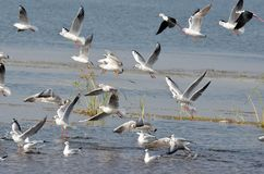 Migratory birds sea gulls came to Bhopal. First flock of migratory birds sea gulls seen in Kaliasot reservoir in Bhopal, India. Many beautiful birds from Stock Photo