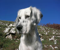 English Setter. First floor of an English Setter Royalty Free Stock Photos