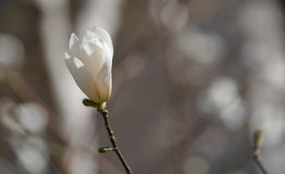 First flower of spring, crop version 1 Royalty Free Stock Images