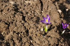 The first flower of spring. Lilac crocus royalty free stock image