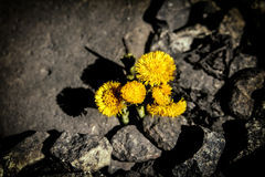 First flower. Tussilago farfara. Life between the stones Stock Photography