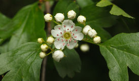 First flower of whitethorn Stock Photo