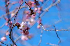 The First flowering .Sakura. Abstract blooming image of the spring flowering in the park.Blurred blue sky background Royalty Free Stock Photo