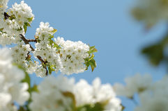 First flowers. Of cherry in springtime Royalty Free Stock Photo