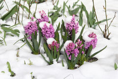 First flowers. Violet flowers in a snow Stock Image